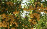 تولید 18 هزار تن از ۳۲ رقم آلوچه در شهرستان مراغه+ تصاویر