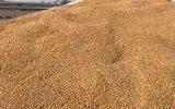 کشف 11 تن گندم و جو احتکار شده در سراب