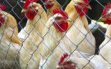 وارد شدن 240 تن مرغ های بزرگ ترین مرغداری گوشتی مراغه به بازار